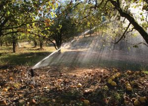 Sprinkler irrigation in an pear orchard in California. (NRCS)