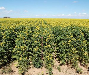 Plants in the mustard family (Brassicaceae) at Red Rock Ranch. John grows salt-tolerant crops like mustard to both remediate the soil, and to harvest the seed for biofuel production. Photo Courtesy of California Agriculture.
