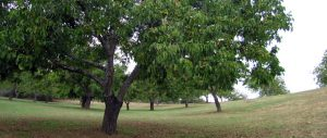 Jutta's walnut trees. Photo courtesy of MMOrganics.