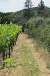 Hedgerows at Preston Vineyard store carbon and provide habitat.