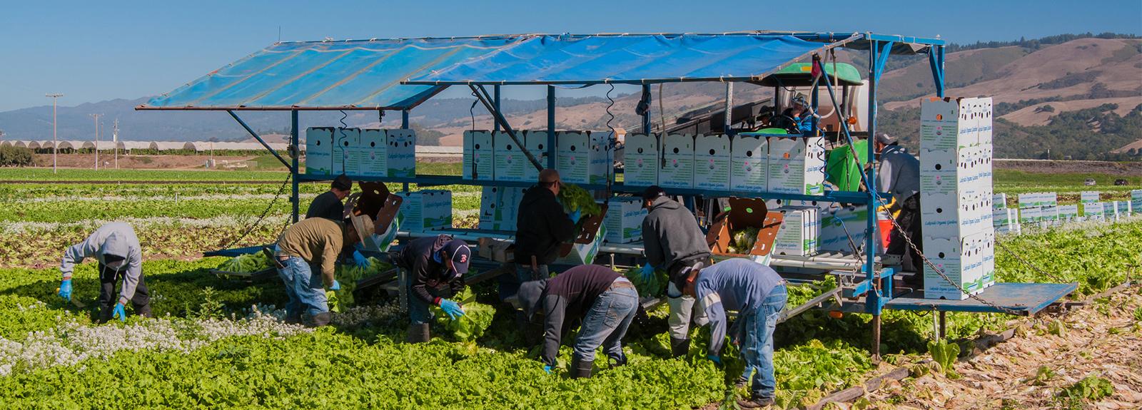 farmworkers harvest lettuce