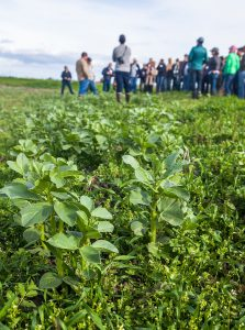 Cover Crop (Bell beans) presentation at River Garden Farms, CalCAN Summit - Farm and Ranch tour regenerative agriculture