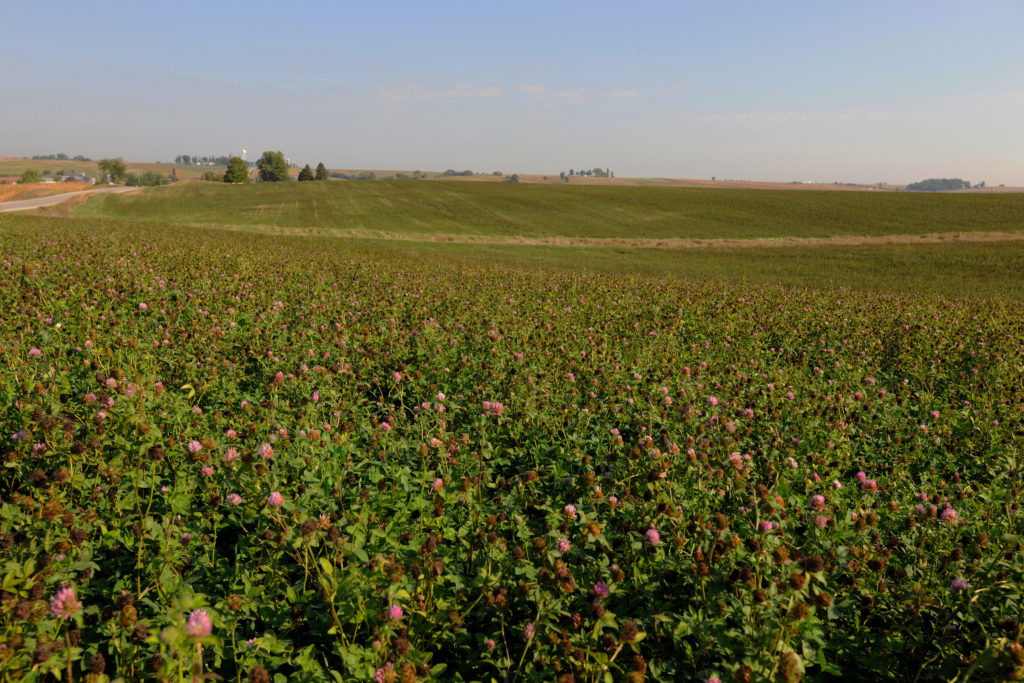 An eastern Iowa farmer is improving the soil in an otherwise unproductive field by growing red clover and harvesting the seed for neighbors to use for cover crops.
