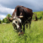 climate solutions cow